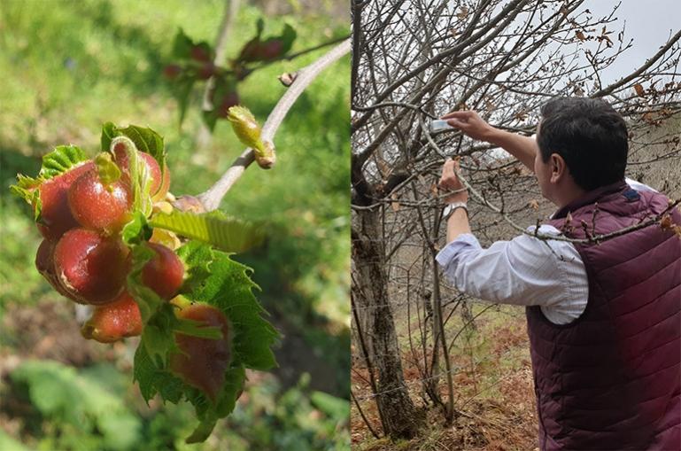 Συνεχίζεται για δεύτερη χρονιά η βιολογική αντιμετώπιση της Σφήκας της καστανιάς στο Δήμο Βόρειας Κυνουρίας
