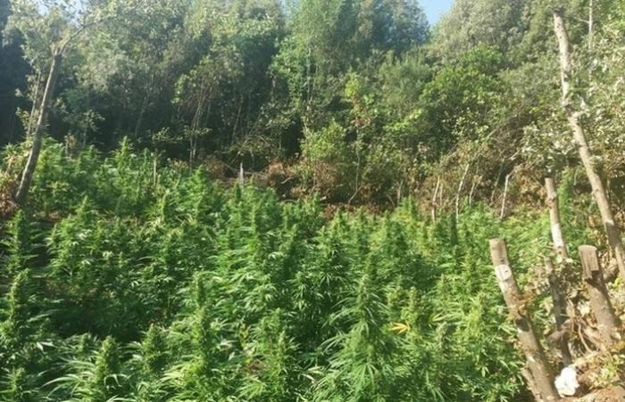 Εξάρθρωση εγκληματικής οργάνωσης τα μέλη της οποίας καλλιεργούσαν και διακινούσαν σε διεθνές επίπεδο ναρκωτικά