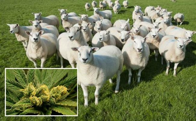 ΚΑΛΑΜΑΤΑ: Πρόβατα βόσκησαν 200 κιλά χασίς!