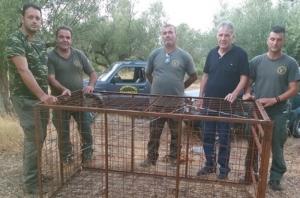 Εντοπισμός παράνομης παγίδευσης αγριόχοιρων από την Κυνηγετική Ομοσπονδία Πελοποννήσου