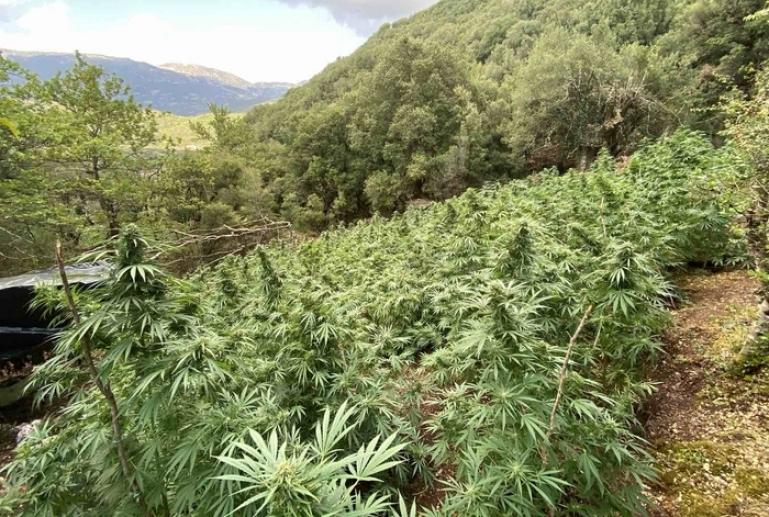 Εντοπίστηκε οργανωμένη φυτεία δενδρυλλίων κάνναβης σε ορεινό χωριό των Καλαβρύτων