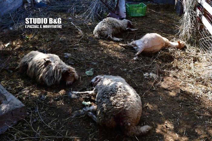 Τρόμος και απόγνωση για κτηνοτρόφους στο Ναύπλιο - Δεύτερο κρούσμα με νεκρά πρόβατα από επίθεση άγριων ζώων (video - pics)